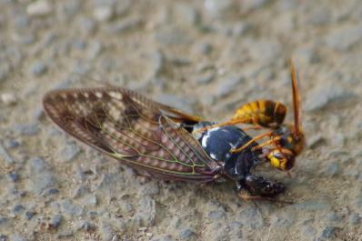 セミを食べるスズメバチ2