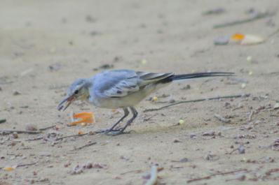 ハクセキレイ(幼鳥)1
