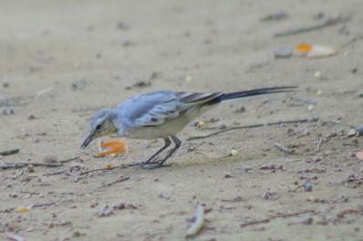 ハクセキレイ(幼鳥)2