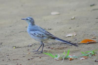 ハクセキレイ(幼鳥)3