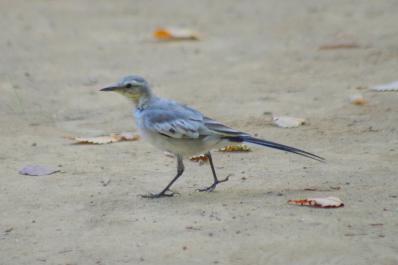 ハクセキレイ(幼鳥)4