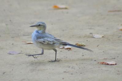 ハクセキレイ(幼鳥)5