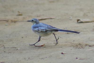 ハクセキレイ(幼鳥)6