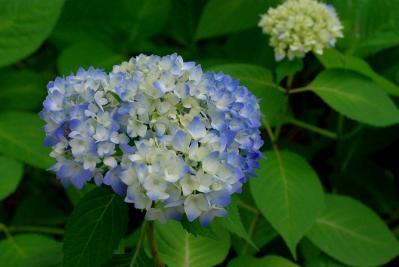 526紫陽花1