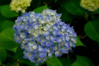 526紫陽花2