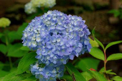 526紫陽花3