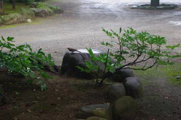 豪徳寺のヒヨドリ