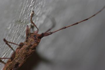 我が家の壁にいたカミキリ