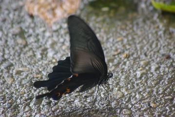 貝柄山公園にいたチョウ