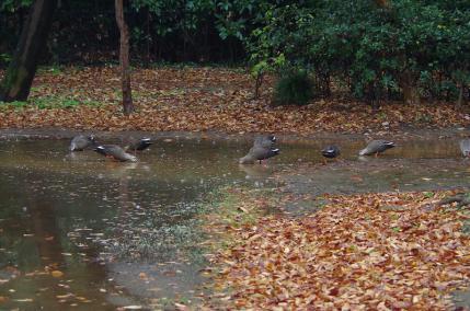 水溜りに集まるカルガモ