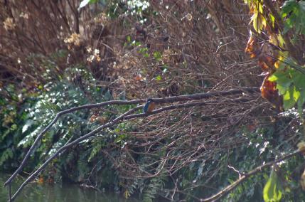 枯れ枝の上のカワセミ
