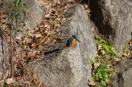池の石の上のカワセミ
