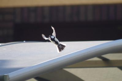 飛ぶシジュウカラ