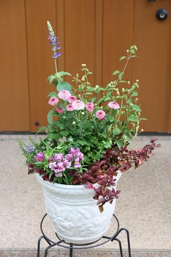 菊、ラベンダーセージ、リッピアの寄せ植え