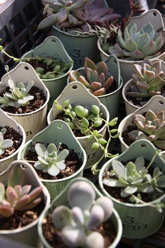 ブリキ容器に多肉植物