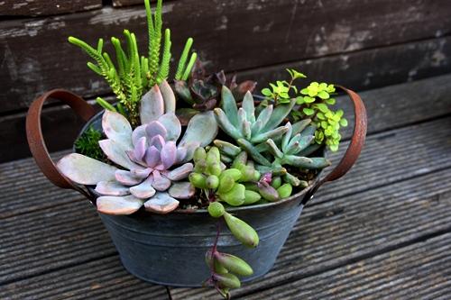ブリキ 多肉植物 寄せ植え デビー 古紫 若緑