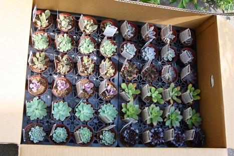 多肉植物の苗たち