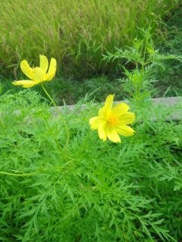 20130826黄色のコスモス