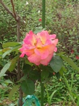 20131005アンネのバラ