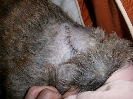 手術後(背中腫瘍の切開の痕)