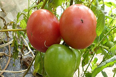 今頃トマト♪