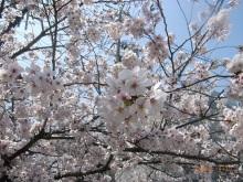 hatwoの言い分-茨木市市民総合センター脇の桜
