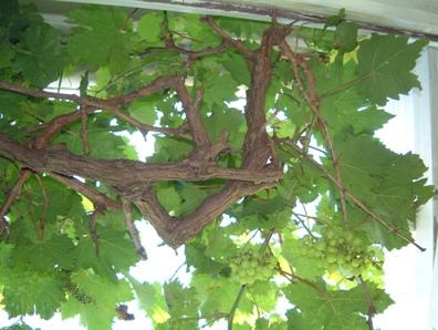 grape 060624