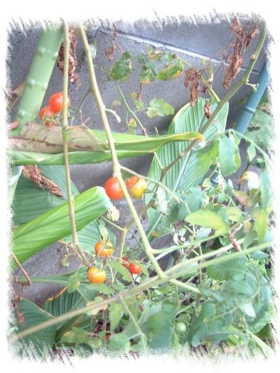 プチトマト070917