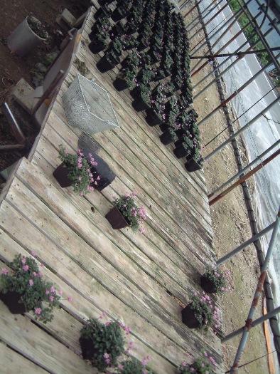 紫の子花たくさんハウス