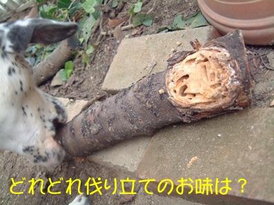 虫食い桜を食べる杏奈