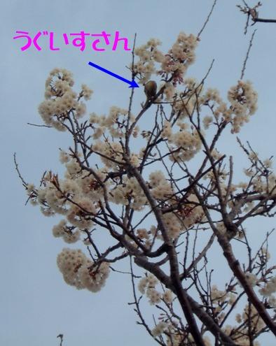 鶯とサクランボの木
