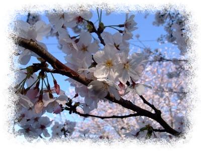 桜のみUP