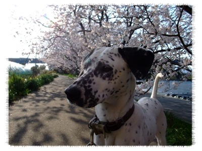 桜と顔あっぷ