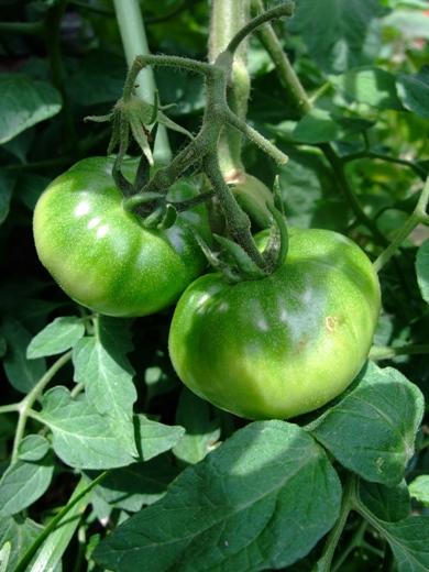 昔のトマト