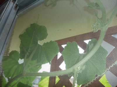 punpkin green cirtein