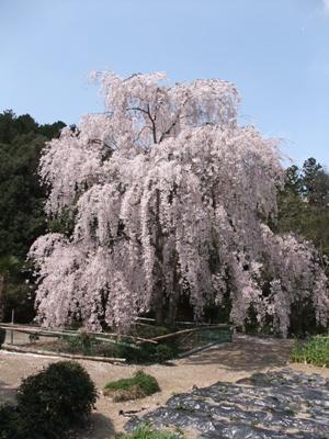 一宮のしだれ桜