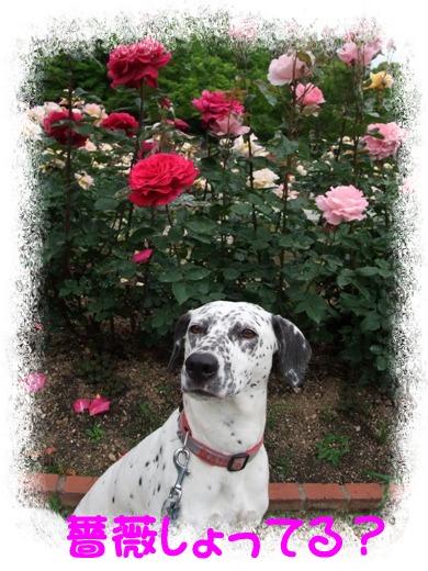 薔薇しょって