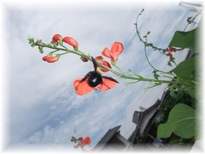 熊蜂と花豆