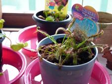 食虫植物2