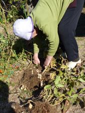 菊芋収穫5