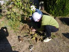 菊芋収穫4