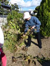 菊芋収穫2