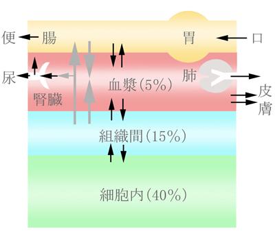 水分代謝模型