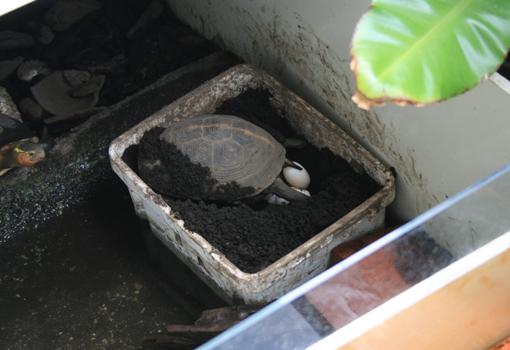 セマルハコガメ産卵
