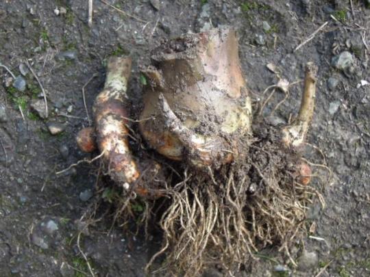 海老芋の保存 H26