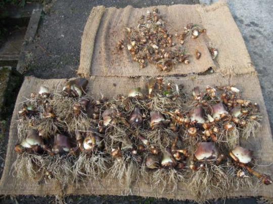 里芋の収獲 H26