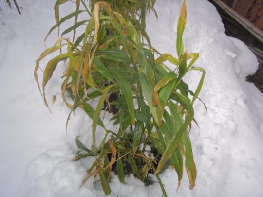 雪の中の黄生姜 H2612