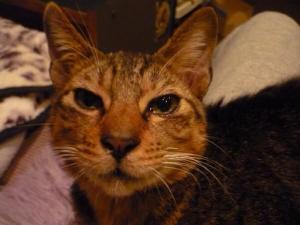 キジトラ♂1~2歳 保護猫