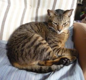 キジトラ 保護猫