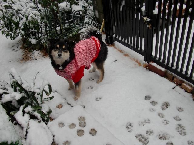 犬生初めての雪♪ (640x480)